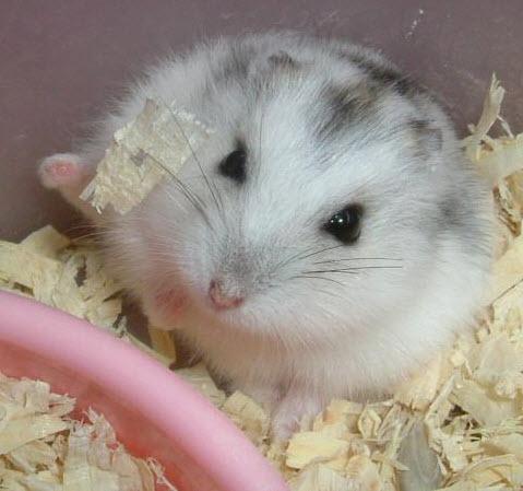 寵物楓葉鼠