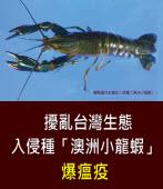 擾亂台灣生態  入侵種「澳洲小龍蝦」爆瘟疫  -台灣e新聞