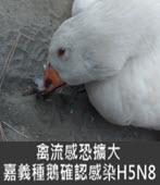 禽流感恐擴大 嘉義種鵝確認感染H5N8 -台灣e新聞