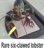 Rare six-clawed lobster is caught off Massachusetts -台灣e新聞